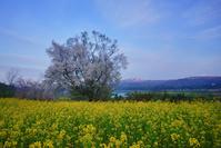 長野県 飯山市 桜と菜の花畑と朝日に染まる斑尾山と妙高山遠望