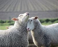 仲良く寄り添う2頭の羊