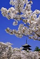 京都府  仁和寺