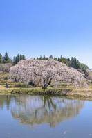 福島県 棚倉町 花園しだれ桜