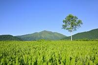 群馬県 ヤマドリゼンマイの群落と至仏山
