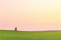 北海道 一本の木が立つ丘の朝