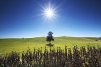 北海道 春よ来いの一本の木と太陽