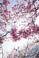 神奈川県 松田山 河津桜