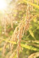 朝露に濡れた稲