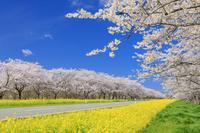 秋田県 菜の花ロード