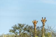 ナミビア キリン