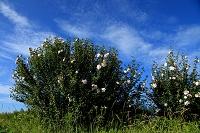 千葉県 西日のむくげ花風景