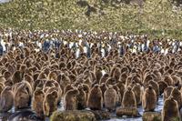 南ジョージア島と南サンドウィッチ諸島 オウサマペンギンの群れ