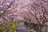静岡県 河津桜 桜のトンネル