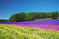 北海道 ファーム富田 ビール大麦と花畑