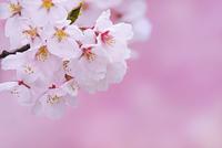 新潟県 桜の花