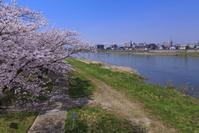 岩手県 北上市 北上展勝地 桜