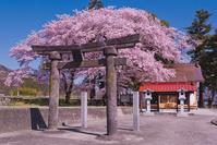 山梨県 青空に武田廣神社の石鳥居と桜