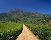 スリランカ ヌワラエリア 紅茶畑