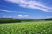 北海道 ジャガイモの花と大雪山