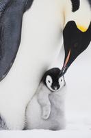 コウテイペンギンの親子