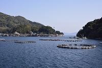 京都 遊覧船の伊根湾めぐり 筏養殖