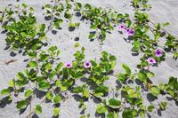 東京都 小笠原諸島 父島 小港海岸ビーチに咲くグンバイヒルガオ