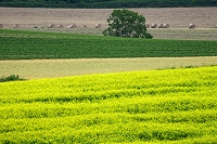芥子菜畑と麦畑