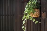 京都府 観葉植物と町家の格子