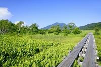 群馬県 上田代のヤマドリゼンマイ群落と燧ヶ岳