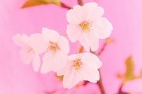 桜の花と葉桜