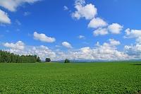 北海道 ビート畑と白い雲