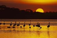タンザニア ンゴロンゴロ保全地域 夕焼けとフラミンゴの群れ