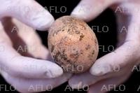 約1000年前の鶏卵、ほぼ完全な形で発掘