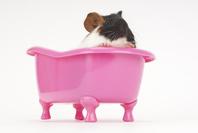 お風呂に入っているモルモット