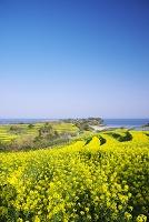 大分県 長崎鼻の菜の花