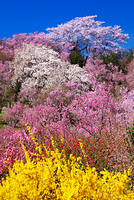 福島県 花見山公園