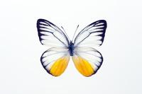 蝶 標本 シシタシロチョウ インドネシア