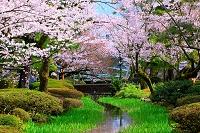 石川県 金沢市 兼六園 曲水の流れと桜