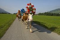 スイス 花で飾られた牛