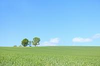 北海道 美瑛 草原の丘に立つ親子の木と青空