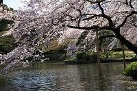 東京都 小石川後楽園 大泉水と桜