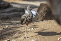 キャンベルタウン野鳥の森 ブロンズトキ