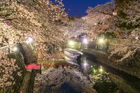 岐阜県 桜咲く水門川 ライトアップ