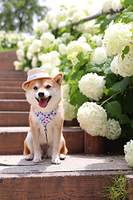 柴犬 紫陽花 アナベル