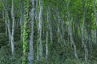 秋田県 白神山地の二つ森のブナ