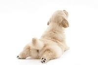 ゴールデンレトリバー 足を伸ばして伏せをしている仔犬の後ろ姿