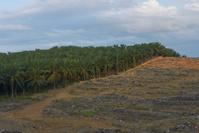 マレーシア アブラヤシの植林