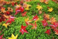 杉苔に落ちた散り紅葉