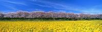 埼玉県 幸手市 菜の花と桜並木