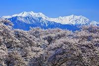 長野県 桜と北アルプス(爺ヶ岳と鹿島槍ヶ岳)