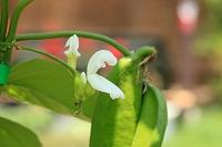 ナタマメの花