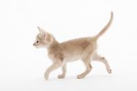 アビシニアン 歩いている子猫