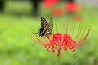 ヒガン花とアゲハ蝶
